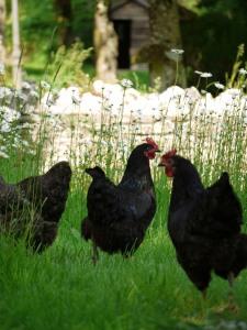 Chickens Botelet Farm